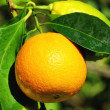 Royalty-Free Stock Photo: Orange and Lemons.