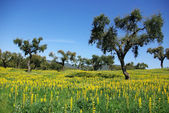 Trees in Alentejo region, Portugal. — Stock Photo