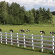 Dairy holsteins wih white fence — Stock Photo #1909839