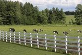 Dairy holsteins wih white fence — Stock Photo