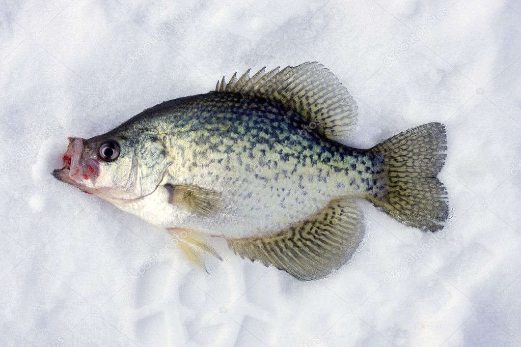 Crappie on ice stock photo dcwcreations 1949630 for Crappie ice fishing