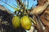 Island coconuts — Stock Photo