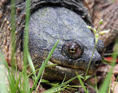 Head shot of a snapping turtle — Stock Photo