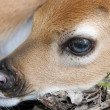 Newborn whitetail deer fawn - Stock Photo