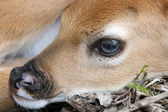 Newborn whitetail deer fawn — Stock Photo