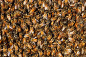 Honey bee swarm background — Stock Photo