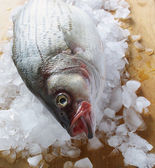 Striped bass on ice — Stock Photo