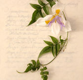 Lily and vine on old-fashioned script — Stock Photo
