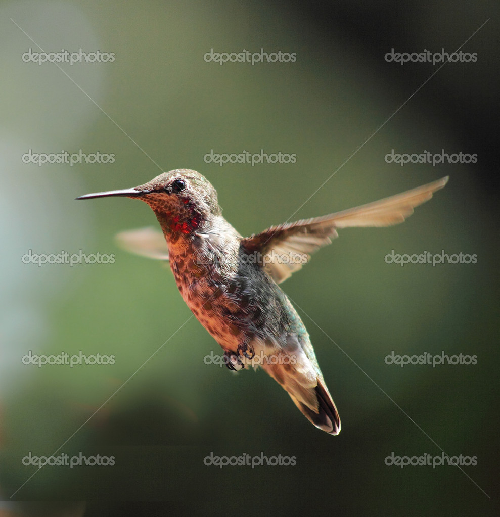 Ruby-throated hummingbird hovering in a garden  Stock Photo #2486629