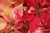 Kırmızı ve pembe noel poinsettias — Stok fotoğraf