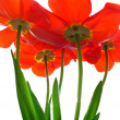 Excellent tulips — Stock Photo #1972109