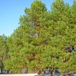 Stock Photo: Green pines