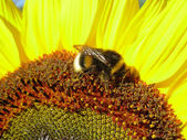 Bumblebee at work — Stock Photo