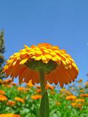Natuurlijke gele bloem — Stockfoto