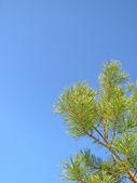 Agujas verdes — Foto de Stock