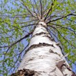 Birch white stem — Stock Photo