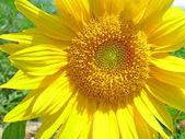 Güzel ayçiçeği — Stok fotoğraf