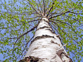 Birch white stem — Stockfoto