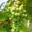 Bunch of green grapes - Stok fotoğraf