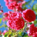 Rose — Stock Photo #2175631