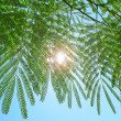 Silk tree — Stock Photo