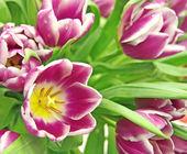 Cardinal tulips — Stock Photo
