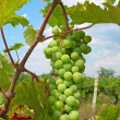 Green grape — Stock Photo #2207605