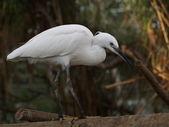 Egret — Stock Photo