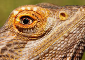 Bearded Dragon Closeup — Stock Photo