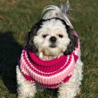 Shih Tzu in a Sweater — Stock Photo