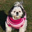 Shih Tzu in a Sweater - Stock Photo