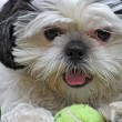 Shih Tsu and Ball - Stock Photo