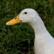 Dirty Duck — Stock Photo
