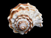 Seashell Over Black #7 (Conch) — Stock Photo