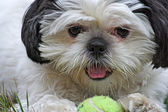 Shih Tsu and Ball — Stock Photo