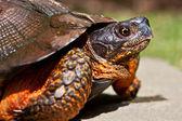 Wood Turtle — Stock Photo