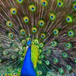 Blue Peacock — Stock Photo #2248319
