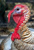 Turkey — Stock Photo