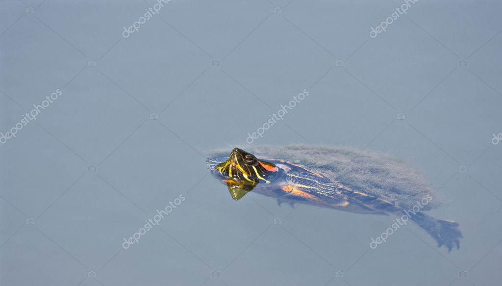 A turtle swimming in a pond with his head sticking up above the water  Stock Photo #2262090