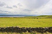 牧草地で牛 — ストック写真
