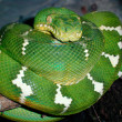 Stock Photo: Emerald Tree Boa