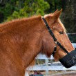 Stock Photo: Pony Muzzle
