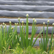 Spring onion flowers — Stock Photo