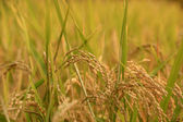 Paddy rice ready to be harvest — Stock Photo