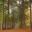 Pine Forest — Stock Photo