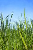 Grass blue sky — Stock Photo