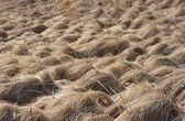 Grass dry — Stock Photo
