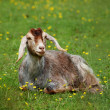 Stock Photo: Goat in green medow