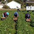 Stock Photo: Straberry picker workers