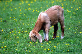 Baby goat eating grass in green meadow — Stock Photo